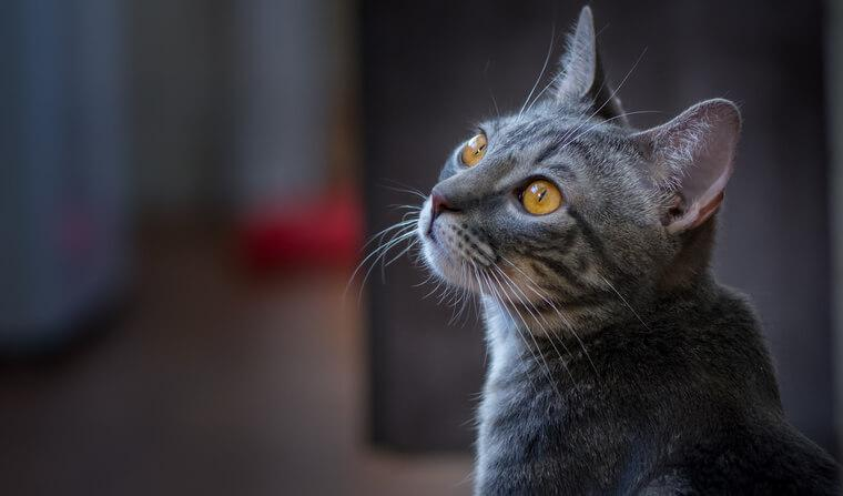 猫ウイルス性鼻気管炎の原因や感性経路を獣医師が解説 ヘルペスウイルスは再発に注意