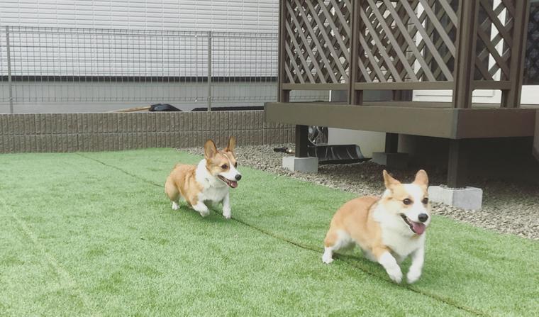 【犬との暮らし】自分だけのお庭ランで楽しく駆け回る犬たちのいる風景
