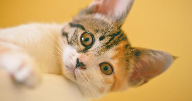 猫の黄疸を獣医師が解説 見分け方や症状・原因、治療法まで
