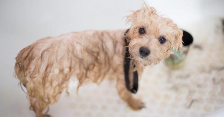 老犬でシャンプーができない時はどうする? お風呂に入れる頻度と注意点を解説