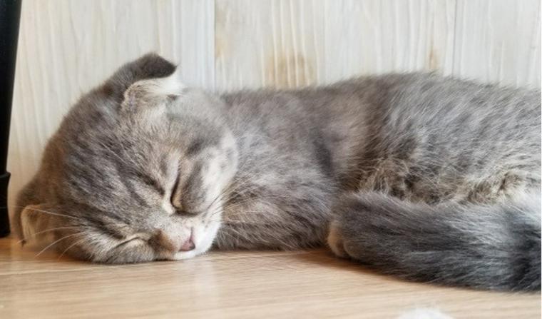 猫のリンパ腫を腫瘍科認定医が解説 初期〜末期の症状や長生きさせるための治療法まで