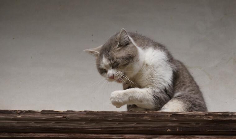 猫のくしゃみは風邪のせい? 考えられる原因・病気や病院に行くべきかを獣医が解説