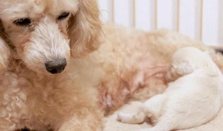 犬の子宮蓄膿症の原因や治療法を獣医師が解説 繁殖予定がなければ避妊手術で予防を
