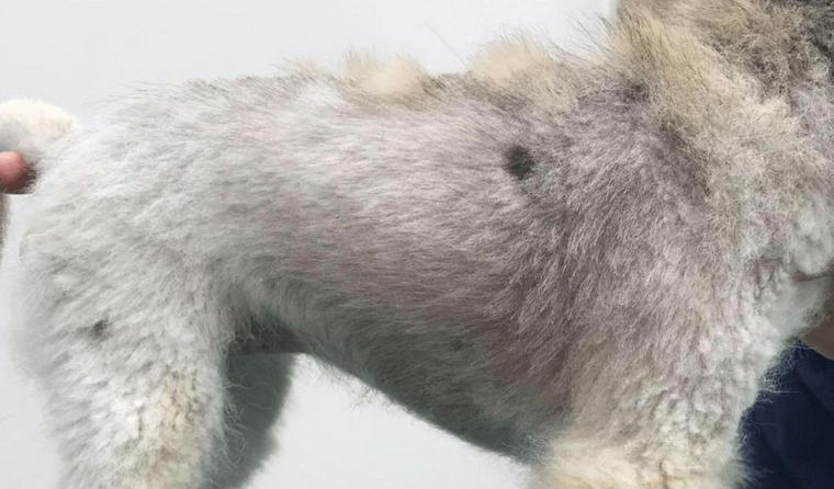 犬の脱毛で考えられる原因を獣医師が解説 病気やストレスなど4つの問題と治療法