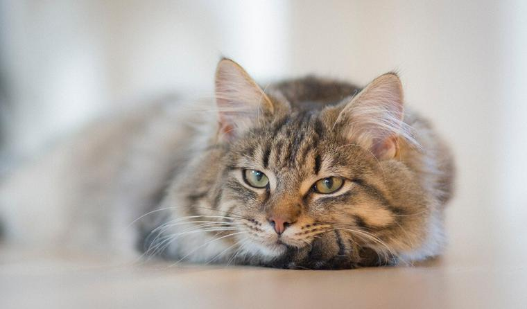 猫カリシウイルス感染症|原因・症状や治療・予防法を感染症担当医が解説
