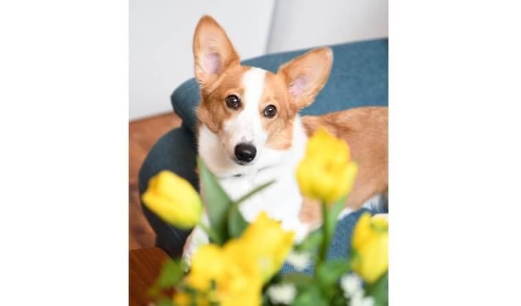 室内撮影をレベルアップ 「いつもの愛犬」にお花を添えて(前編)【犬の写真の撮り方】