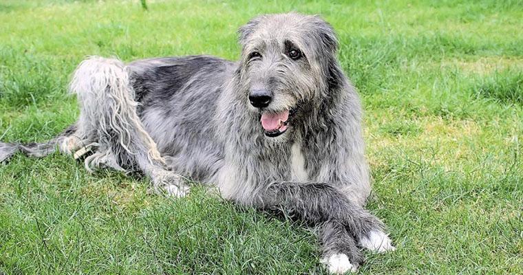 アイリッシュウルフハウンドの飼い方|優しく繊細な超大型犬を子犬から育てる注意点など