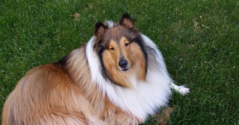 ラフコリーの飼い方|シェルティとの違いや性格、大きさは? 名犬ラッシーで知られる賢い犬種の育て方