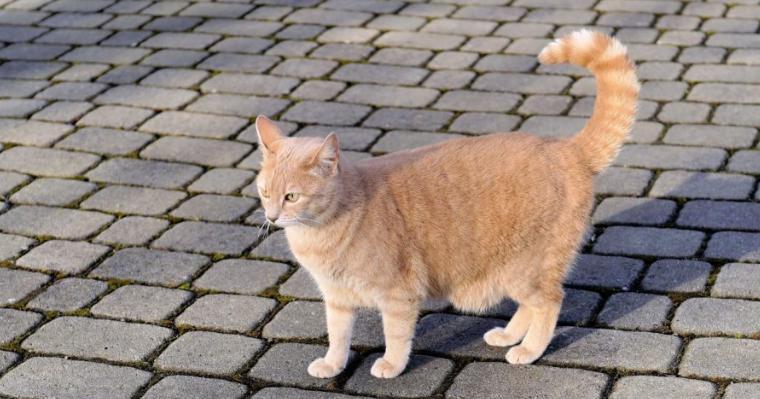 猫のルーズスキン|お腹のタプタプは肥満ではなかった!? 見分け方や役割を解説