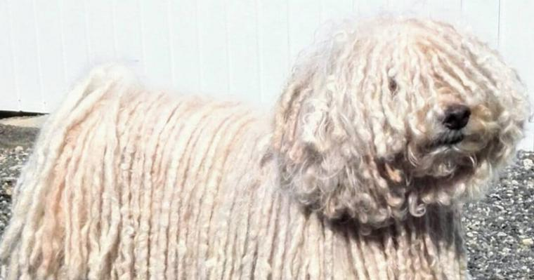 プーリーの飼い方|モップのような元牧羊犬の性格や特徴、迎え方を紹介