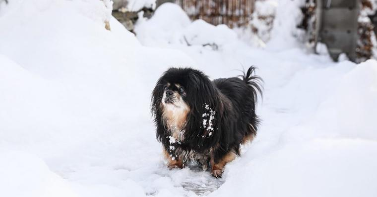 チベタンスパニエルの飼い方|性格や寿命、特徴は? しつけは子犬期からが重要