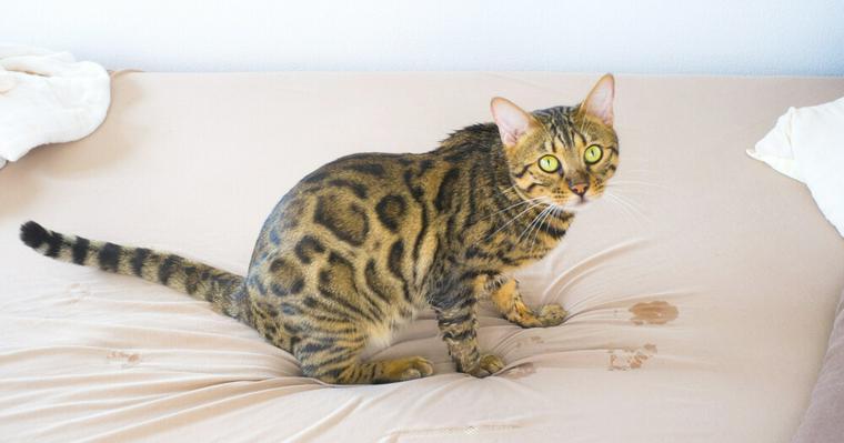猫の粗相をやめさせる方法を解説 急にした場合は膀胱炎の可能性も