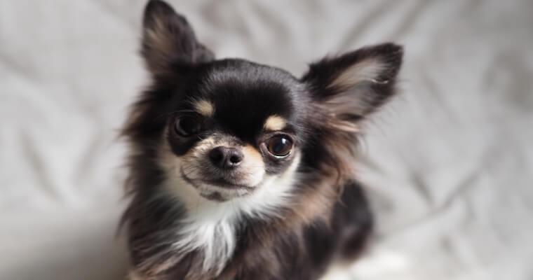 犬の火傷|症状や治療、予防法を獣医皮膚科認定医が解説