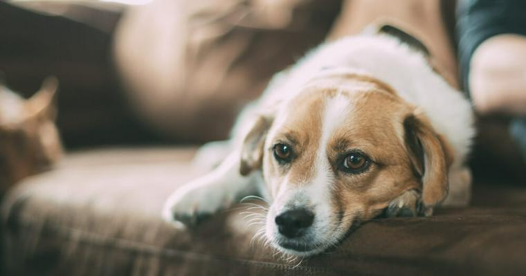 愛犬がソファに乗る際の注意点を解説 飛び降りる際の衝撃が怪我につながる可能性も
