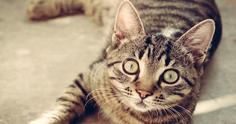 猫エイズは人にうつる? 症状や感染経路、治療・予防法まで獣医師が解説