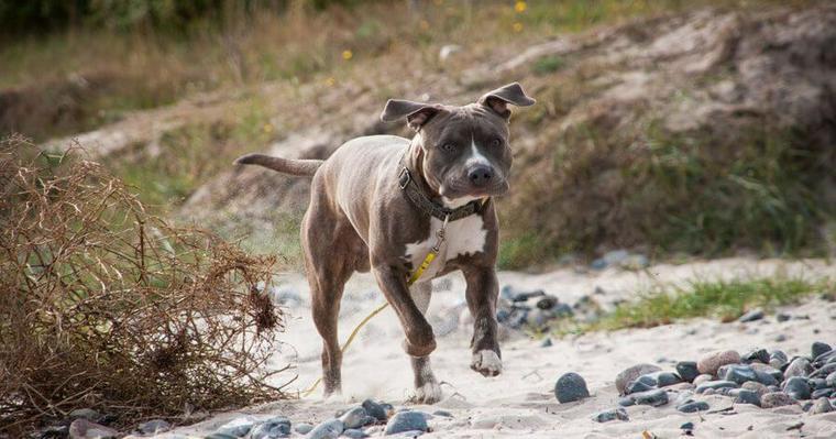 アメリカンスタッフォードシャーテリアの飼い方|ピットブルと違いや最強闘犬の注意点を解説