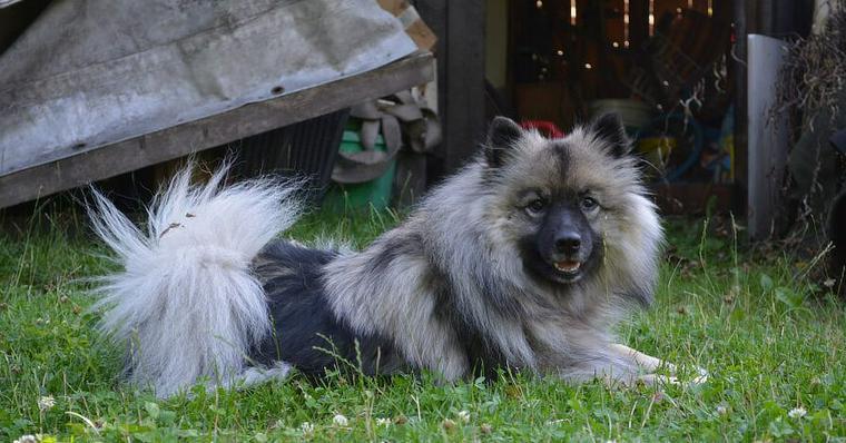 キースホンドの飼い方 性格やしつけ方 ふわふわな毛のお手入れの方法などをご紹介