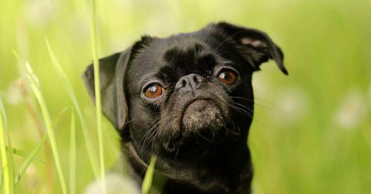 プチブラバンソンの飼い方|特徴やしつけ方、ケアの仕方をご紹介