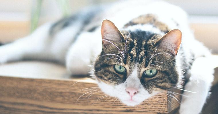 猫で大型はメインクーンだけじゃない! 人気の種類や飼い方、注意点を解説
