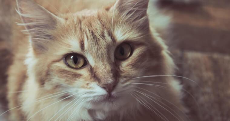 致死率の高い猫伝染性腹膜炎(FIP)|症状や検査・治療方法など獣医師が解説