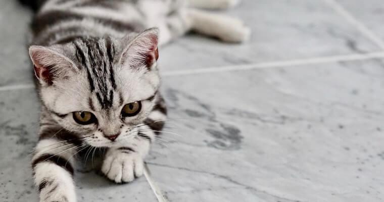 猫の白血病とFeLVの違いを猫専門獣医師が解説|症状から治療法まで