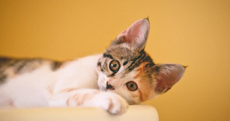 猫の人見知りはなおる? 人見知りする理由と対策とは
