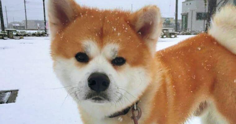 秋田犬の飼い方|性格や毛色しつけ方などトレーナーが解説