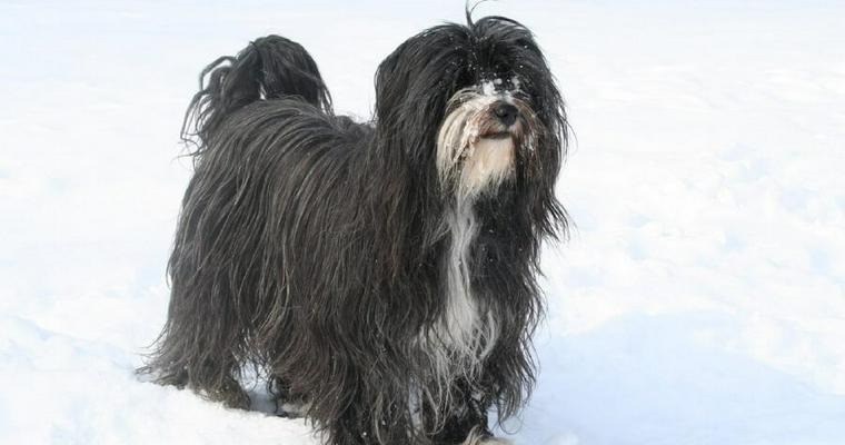 チベタンテリアの飼い方|「幸せを呼ぶ犬」の性格やかかりやすい病気を紹介
