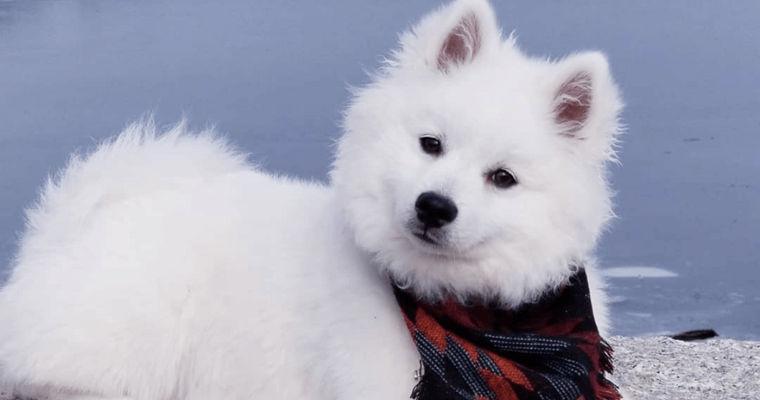 アメリカンエスキモードッグの飼い方|サーカスで活躍したこともある美しく賢い犬