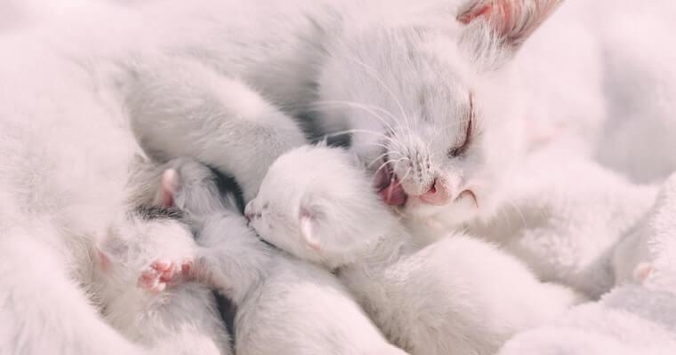 猫の妊娠 兆候や妊娠期間、出産準備などを獣医師が解説
