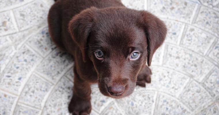 犬伝染性肝炎とは? 原因や症状、診断方法などを感染症担当獣医師が解説