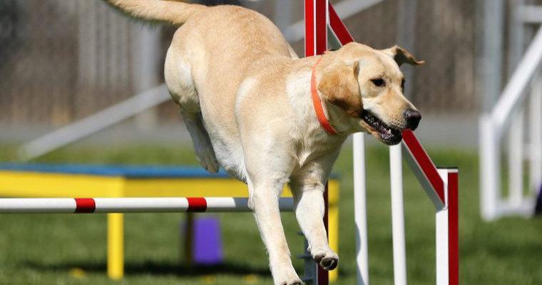 アジリティーを犬と楽しもう トレーニングの様子や競技会で使われる道具を紹介