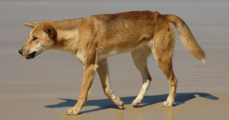 """ディンゴは犬のようで犬じゃない!? オーストラリアの""""野犬""""を解説"""