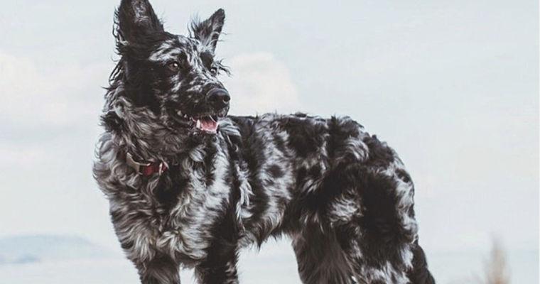 ムーディーの飼い方|世界に数千匹しかいない希少犬種は、実は日本でも飼いやすい!