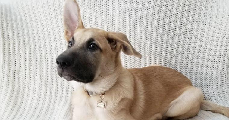 チヌークの飼い方|アメリカで生まれた犬ぞりに適した犬種