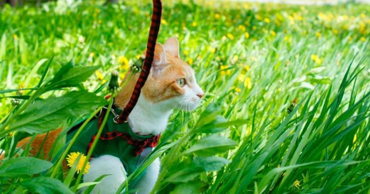 猫に散歩させるメリットやデメリットとは? ハーネスやリードなど必要な道具も紹介