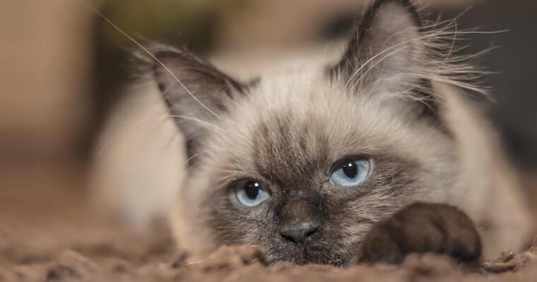 猫の腎不全(腎臓病)の症状や治療・食事について腎・泌尿器科専門獣医が解説