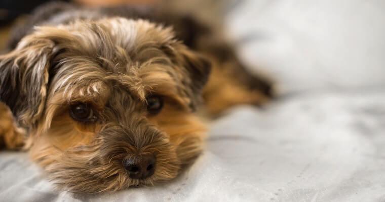 犬の黄疸とは? 原因や症状、治療法などを獣医師が解説