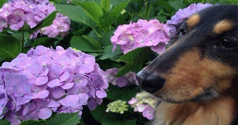 犬にとってあじさい(紫陽花)は危険! 中毒症状や食べた場合の対処法を解説