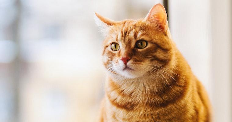 猫の膵炎は重症化しやすい? 症状や治療法などを獣医師が解説