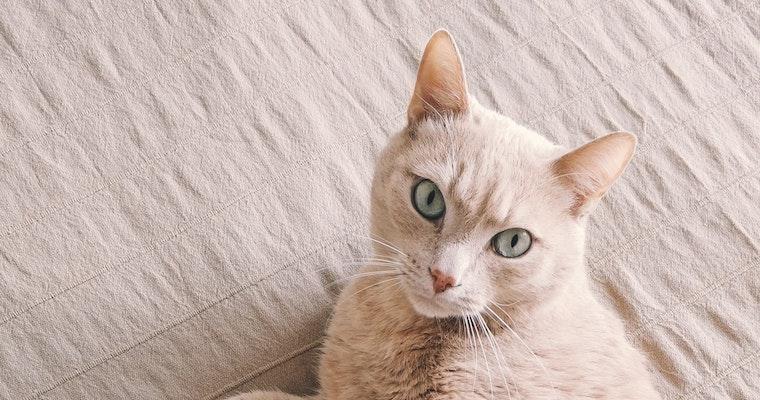 猫の子宮蓄膿症とは? 症状や原因、治療法について獣医師が解説