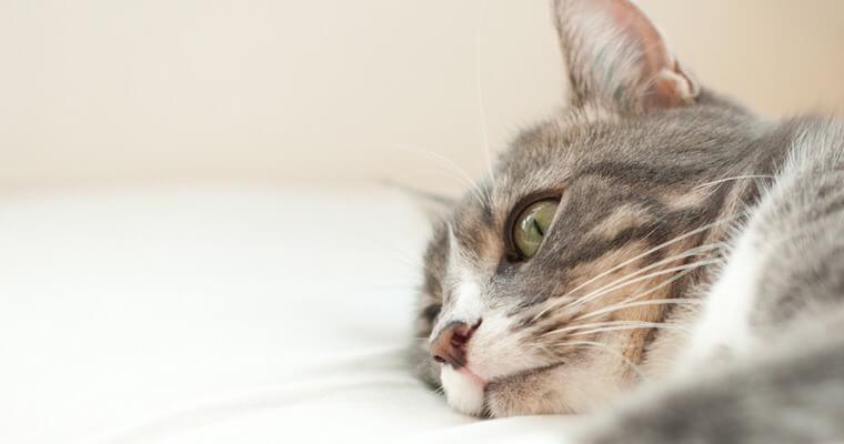 猫の横隔膜ヘルニア|症状や手術のリスクなどを獣医師が解説