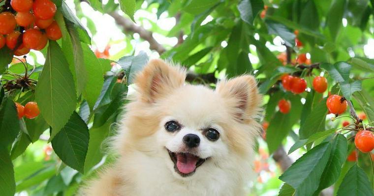 犬はさくらんぼを食べて大丈夫! 種など注意点からさくらんぼ狩り農園まで紹介