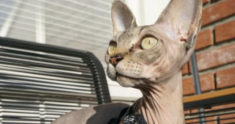 バンビーノ(猫)を画像・動画で紹介 飼い方やスフィンクスやドンスコイとの違いを解説