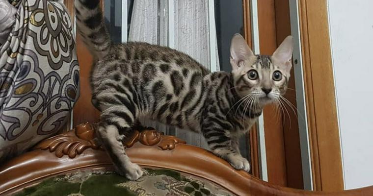 ジェネッタ(猫)の飼い方|ベンガルに似た足が短い新しい猫種