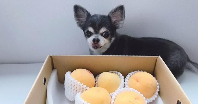 犬は桃を食べても大丈夫 種や与え過ぎに注意すれば桃狩りも楽しめます!