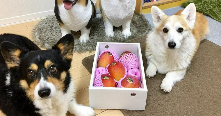 犬はマンゴーを食べても大丈夫! 与える際の注意点や犬専用おやつも紹介