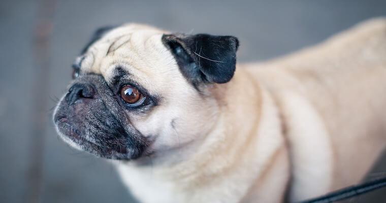 犬の血小板減少症とは? 原因や症状、治療法などを獣医師が解説