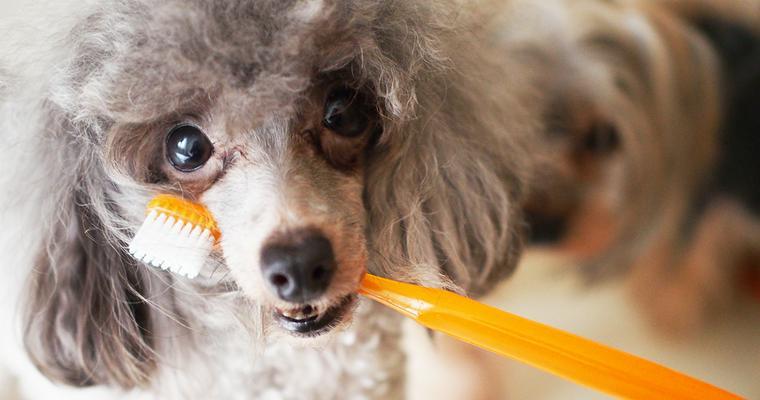 犬のデンタルケアグッズおすすめ13選 人気なグリニーズのガムにスプレーなど