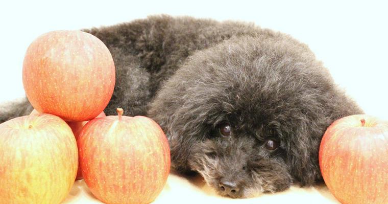 犬はりんごを食べても大丈夫 栄養や種・芯などの注意点も紹介